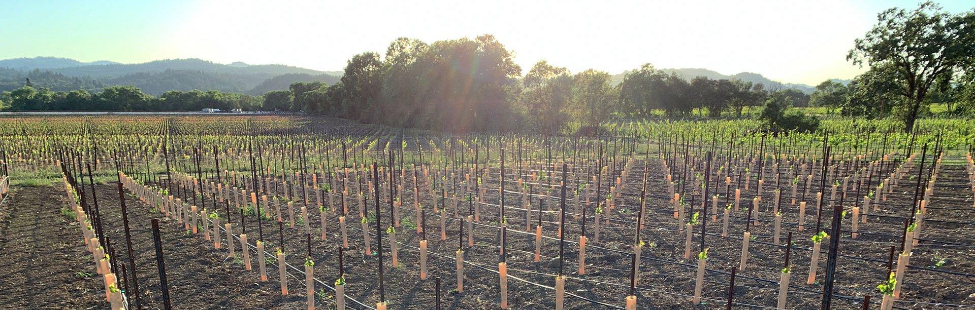 Sunshine in Sonoma County Vineyards